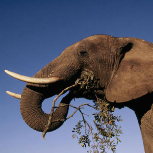 elephantcrisisfund
